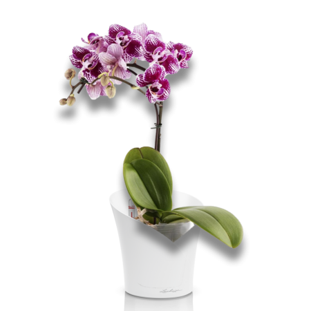 PRO-подарок (Орхидея фаленопсис+ ORCHIDEA белый матовый)