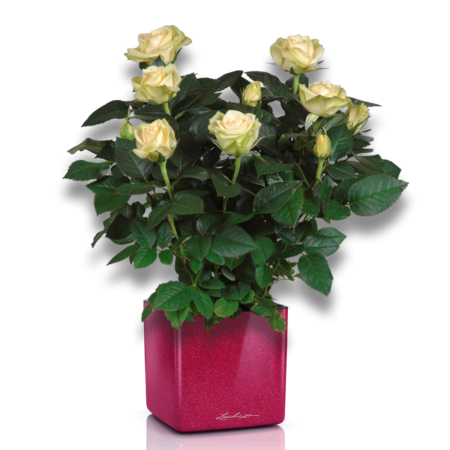 Комплимент от шефа (Роза + CUBE GLOSSY KISS 14 ВИШНЕВЫЙ БЛЕСТЯЩИЙ)
