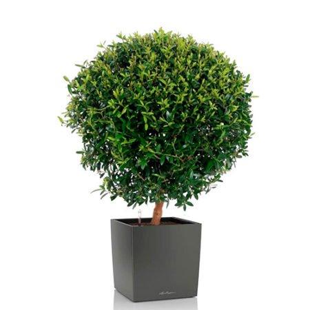 Миртовое дерево + CUBE 30 антрацитовый металлик