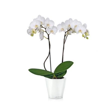 ar 450x450 - Орхидея Фаленопсис + MINI DELTINI белый блестящий