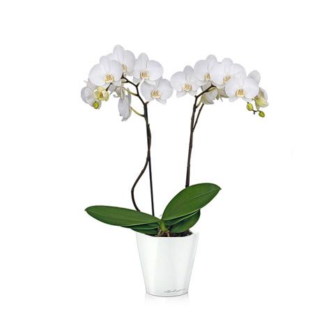 Орхидея Фаленопсис + MINI DELTINI белый блестящий